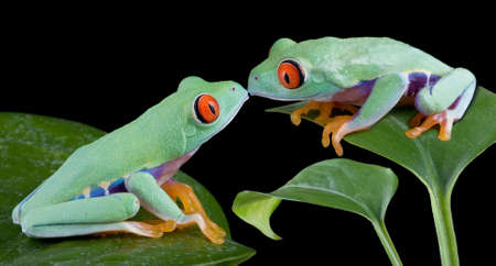 Two baby red-eyed tree frogs are kissing.