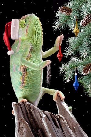 A veiled chameleon is decorating a Christmas tree. Stock Photo
