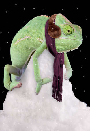 A veiled chameleon is sitting on a snow pile wearing a scarf and ear muffs. 免版税图像