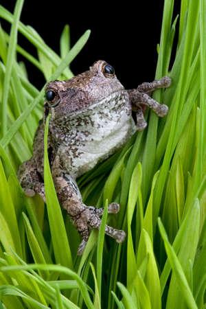 灰色、ツリーのカエルはいくつかの草の刃で座っています。