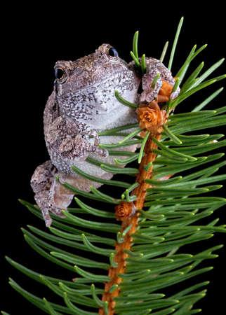 灰色のアマガエルは、常緑の枝の上に座っています。