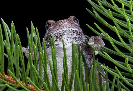 灰色のアマガエルは、常緑の枝によって囲まれています。 写真素材