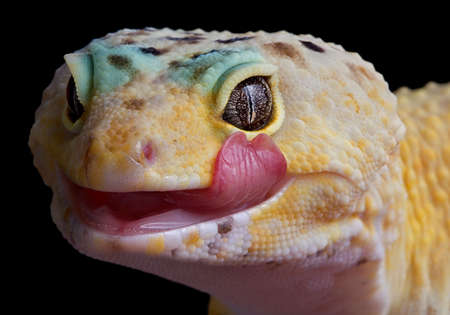 A leopard gecko is licking his lips. 免版税图像
