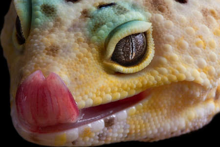 A leopard gecko is licking his lips. Stock Photo
