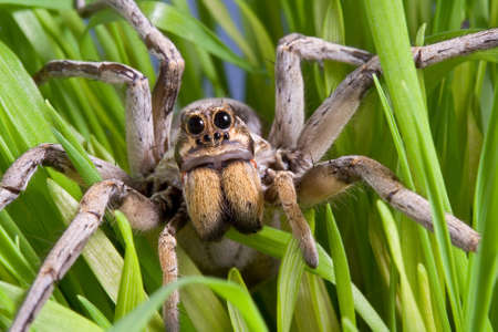A wolf spider is crawling through the grass. Stock Photo