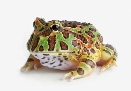 A baby ornate horned frog is sitting on a white background. Stock Photo