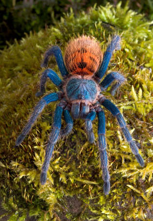 A green bottle blue tarantula is facing the camera. Stock Photo