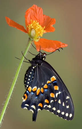 A black swallowtail butterfly is hanging on to a poppy.