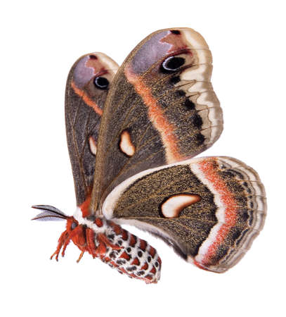 A female cecropia moth is shown in flight on a white background. Stock Photo