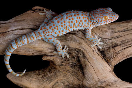 A tokay gecko is crawling over a piece of driftwood.