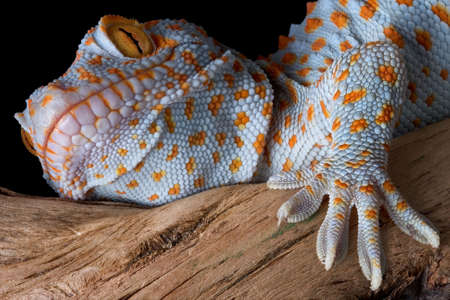 A tokay gecko is shown up close on some driftwood.