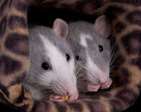 Two dumbo rats are munching on some puffed cereal.