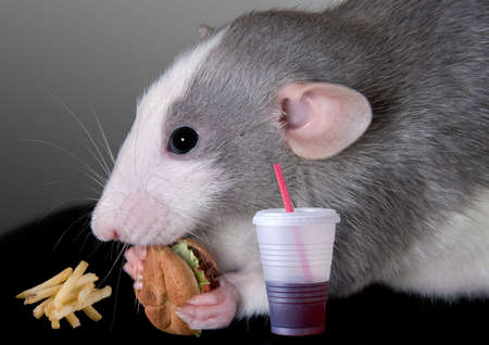 A dumbo rat is eating a fast food meal.