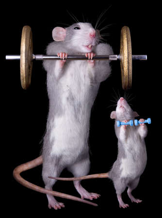 A rat tries to imitate his parent lifting weights. Stock Photo