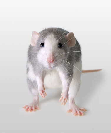 A rat is depressed about some sad news. Stock Photo