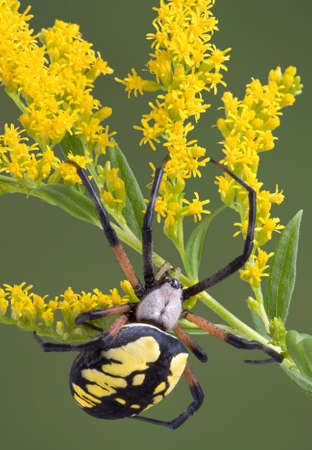 A female argiope spider is climbing on goldenrod.