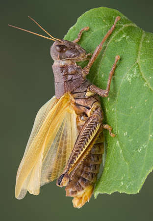 A grasshopper is drying it's wings after shedding it's skin.