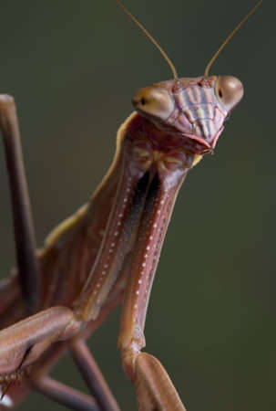 A male mantis is looing towards the camera.