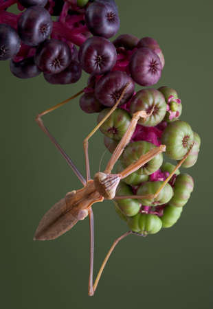 A male mantis is hanging from a branch of pokeweed.