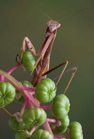 A male mantis is sitting on some pokeweed. Stock fotó