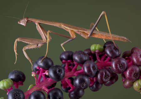 A male mantis is walking on a branch of pokeweed.
