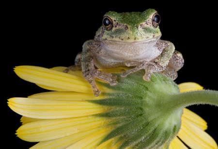 赤ちゃん灰色の木のカエルは黄色い花に座っています。 写真素材