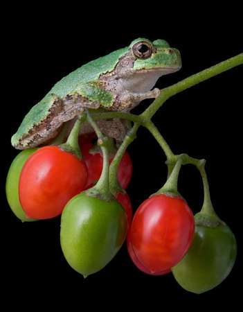 A baby gray tree frog is sitting on some nightshade berries.
