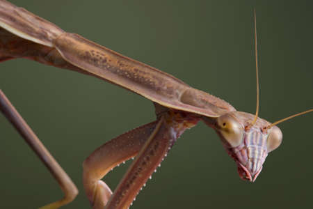 A male mantis is walking at a downward angle. Stock fotó