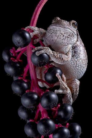 灰色の木カエル ヨウシュヤマゴボウのベリーの上に腰掛けています。