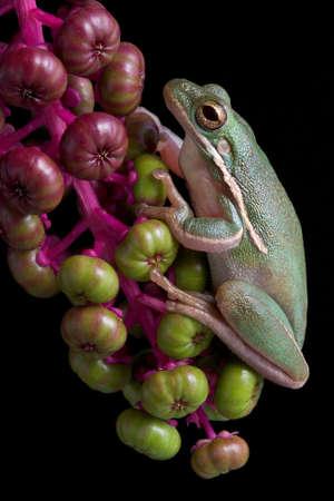 緑のアマガエルはヨウシュヤマゴボウ果実の束に掛かっています。