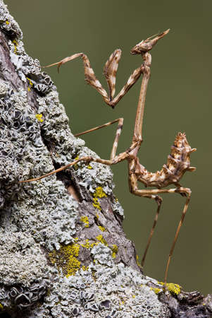 A cone-head mantis is perched on a branch.