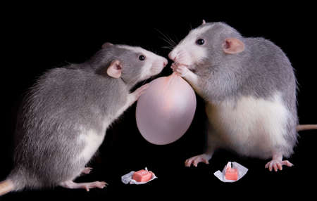 Two rats are playing with some bubble gum. One has blown a bubble.