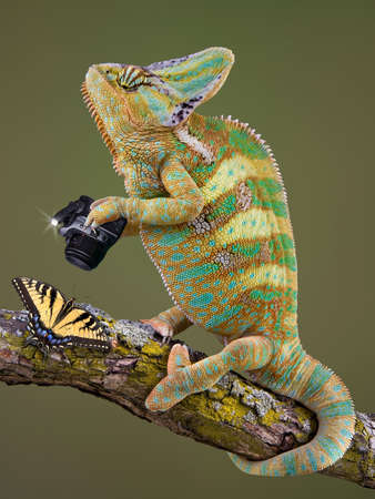 A veiled chameleon is taking a photograph of a butterfly. Stock Photo