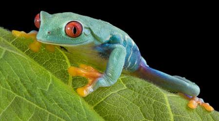 おせじツリーのカエルは、葉中に見つめています。