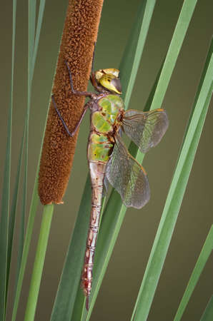 A dragonfly is perched on a cattail. Stock Photo
