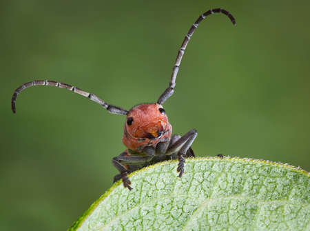 A longhorn beetle is holding on to the egde of a milkweed leaf.
