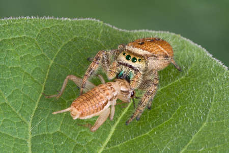 A tiny jumping spider has caught a cricket and is eating it while sitting on a leaf.