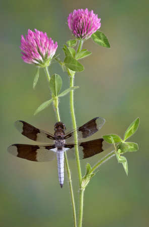 A dragonfly has landed on some clover.
