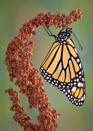 A monarch is hanging from a dried weed.