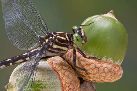 A dragonfly is perched on two acorns from an oak tree. Banco de Imagens