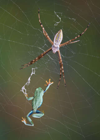 An argiope spider appears to have caught a red-eyed tree frog in it's web. 版權商用圖片