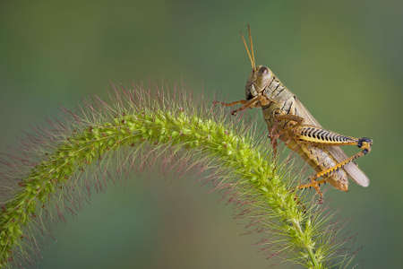 A grasshopper is sitting on some foxtail grass. Stock Photo