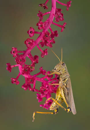 A grasshopper is hanging on to a branch of pokeweed that lost its berries.
