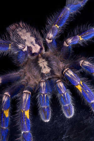 A P. Metallica tarantula is crawling towards the camera.
