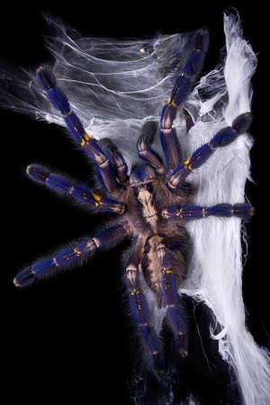 A blue P. Metallica tarantula is crawling up its web.