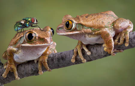 One big-eyed tree frog is looking at a fly that landed on his friends head. Stock Photo