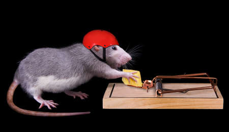 A rat is trying to steal a piece of cheese that is bait in a rat trap. She is wearing a helmet on to protect her. Фото со стока