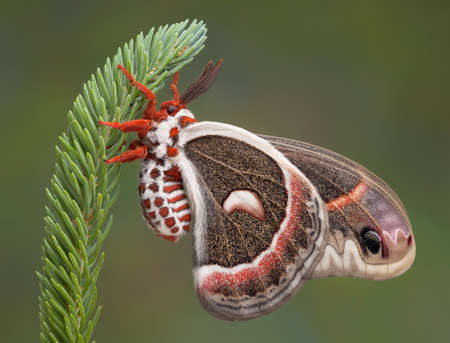 A cecropia moth is hanging on to a pine branch. Stock Photo