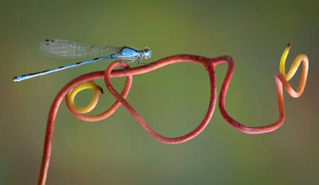 A blue damselfly is perched on a red vine. Stock Photo