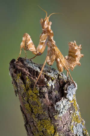 A devil flower mantis nymph is sitting on a branch.